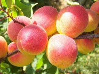 абрикос орфей
