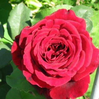 роза парковая Грандесса