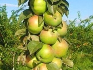 колоновидная яблоня идеал