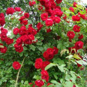 Сантана роза чайно гибридная