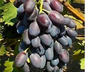 виноград джованни