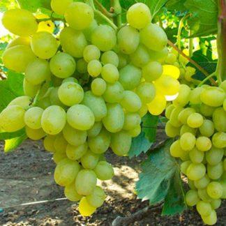 виноград супер экстра