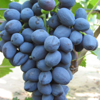 виноград забава