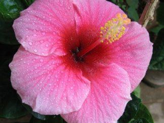 Гибискус древовидный розовый