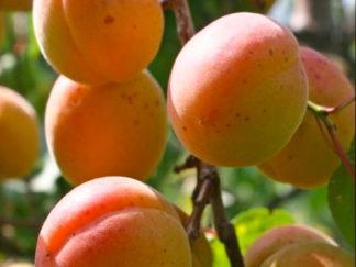 абрикос триумф северный