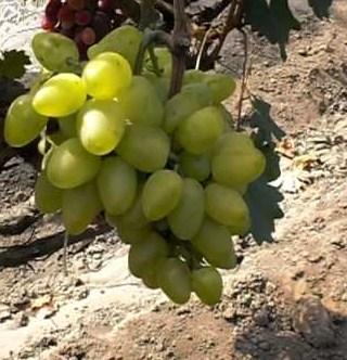 виноград Ахиллес