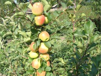 яблоня Болеро