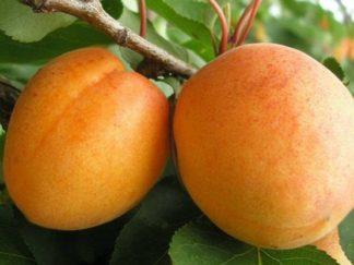 абрикос луиза бланк