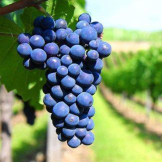 виноград саперави