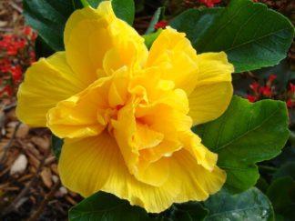 гибискус махровый желтого цвета