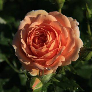"""Роза """"Гейша"""""""