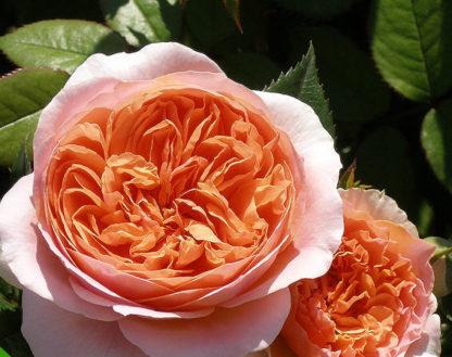 Роза английская Чиппендейл
