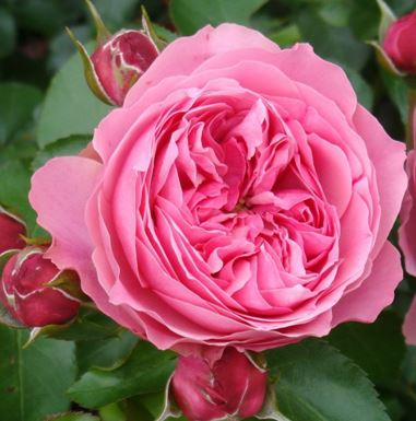 Роза английская Леонардо да Винчи
