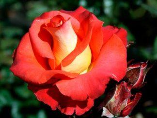 Роза бардюрная Леонидас