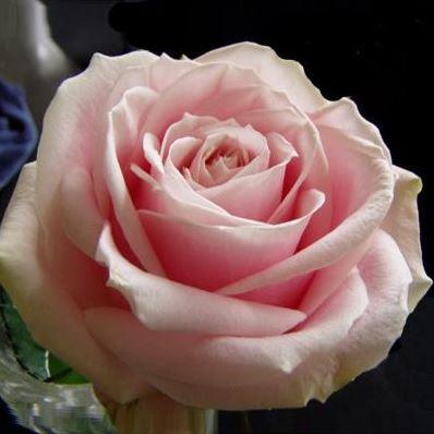 Роза бардюрная Пич Аваланж