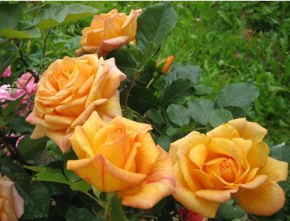 Роза парковая Мишка