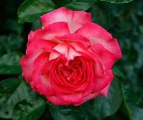 Роза плетистая Антик