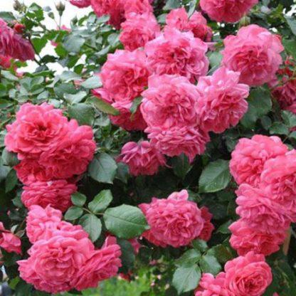Роза плетистая Ютерсен