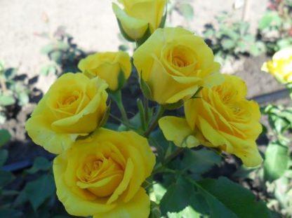 Роза спрей Сан Сити