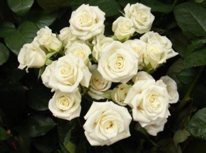 Роза спрей Вайт Лидия