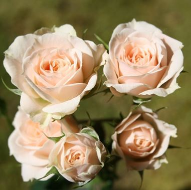 Роза спрей Яна