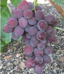 Виноград Былина