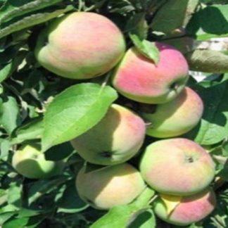 колоновидная яблоня пионер
