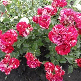 роза Арроу