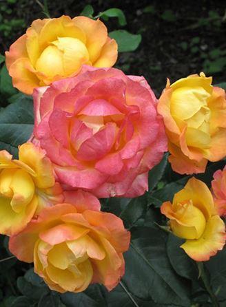 роза Солнечная девочка