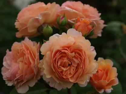 роза английская Чарльз Остин