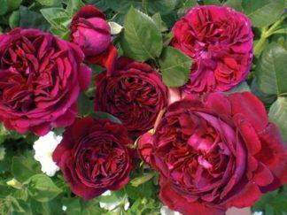 роза английская Фольстафф