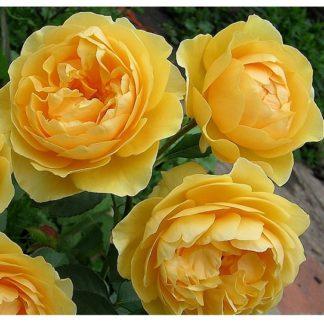 роза английская ГрэхамТомас