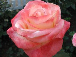 роза чайно-гибридная Белла Перла