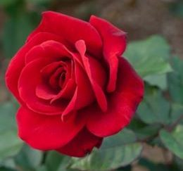 роза чайно-гибридная Булс Айс