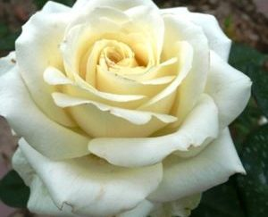 роза чайно-гибридная Эдванс