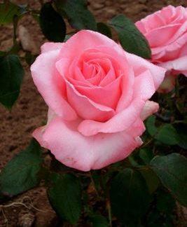 роза чайно-гибридная Графиня Беттина