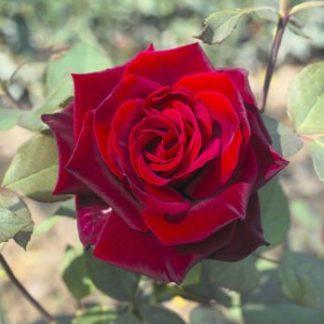 роза чайно-гибридная Гран-При