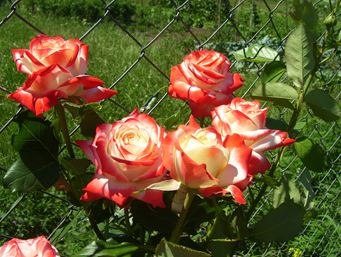 роза чайно-гибридная Императрица