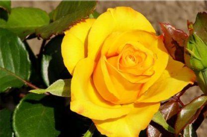 роза чайно-гибридная Керио