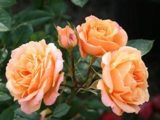 роза чайно-гибридная Клементина