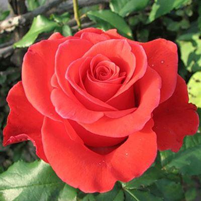 роза чайно-гибридная Корвет