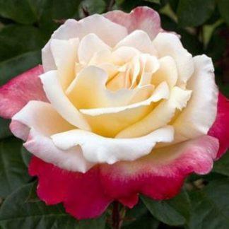 роза чайно-гибридная Летиция Каста