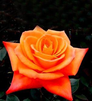 роза чайно-гибридная Миракли