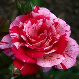 роза чайно-гибридная Пападжено
