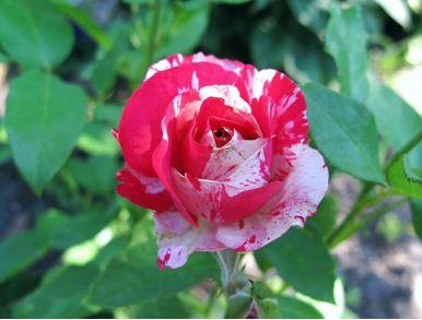 роза чайно-гибридная Сатина