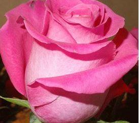 роза чайно-гибридная Топаз
