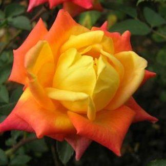 роза чайно-гибридная Трезор 2000