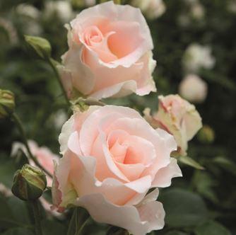 роза парковая Рококо