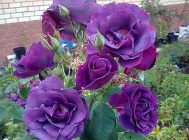 роза парковая рапсодия