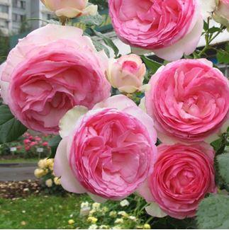 роза плетистая Эден Роуз